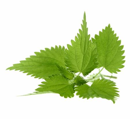 Ortie bio for Plante ortie