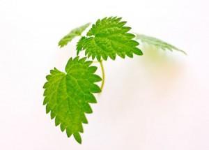 Vertus de la feuilles d' ortie biologique